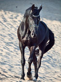 Walking beautiful black stallion in the desert — Zdjęcie stockowe