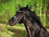 Portrait of beautiful black horse — Stok fotoğraf
