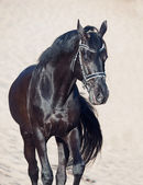 Walking beautiful black stallion in the desert — Stockfoto
