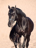 Walking beautiful black stallion in the desert — Photo