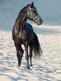 Beautiful black stallion in the desert — Stock Photo