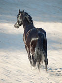 Beautiful black horse in the desert — ストック写真
