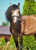 Beautiful buckskin welsh pony — ストック写真