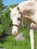 Portrait of cream welsh pony — Stock Photo