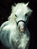 Portrait of running gray welsh pony at dark background — ストック写真