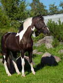 Portrait of the beautiful paint draft horse — Stock Photo