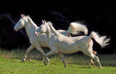 Running cream ride ponys at black background — Stockfoto
