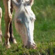 Portrait of grazing cremello ride pony — Stock Photo