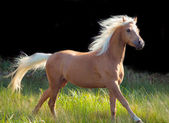Galoping palomino welsh pony at black background — Стоковое фото