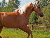 Galoping palomino welsh pony — Stock Photo