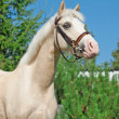 Portrait of  sportive cremello  welsh pony — Stock Photo