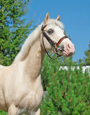 Portrait of sportive cremello welsh pony — Stockfoto