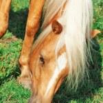 Portrait of grazing palomino welsh pony — Stock Photo #31041807
