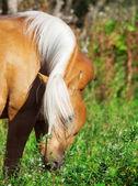 Pastva pěkné palomino pony — Stock fotografie