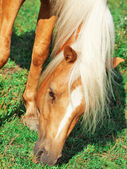 Portrait of grazing palomino welsh pony — Stock Photo