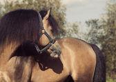 Portrait of Beautiful buckskin welsh pony — ストック写真