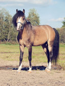 Beautiful buckskin stallion welsh pony — Stock Photo