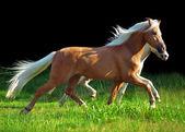 Trotting welsh ponys at black background — Stock Photo