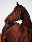 Portrait of Beautiful black sportive horse at sunset — Stock Photo