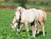Cremello welsh ponies foal in the pasture — Stock Photo