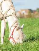 Cream welsh pony dam in the field — Stock Photo