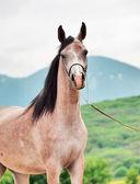 Portrait of arabian filly — Stock Photo