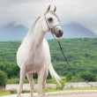 White beautiful purebred arabistallion — Stock Photo #32502699