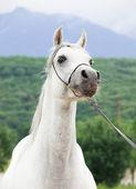 Portrait of white nice purebred arab — Stock Photo