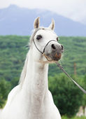 白の素敵な純血アラブの肖像画 — ストック写真