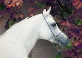 Portrait of white purebred arab — Stock Photo
