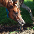 Portrait of arabian filly in the paddock — Stock Photo