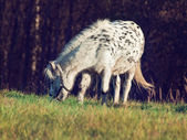Mini appaloosa pony in the pasture — Stock Photo