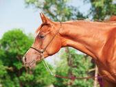 Portrait of chestnut arabian filly — Stock Photo