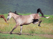 Arabian filly in motion — Stock Photo
