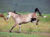 Arabian filly in motion — Stock Photo