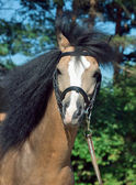 Portrait de belle peau de daim gallois poney — Photo
