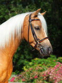 Portrait of beautiful palomino welsh pony — Stockfoto