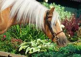 Portrait of beautiful palomino welsh pony — Stock Photo