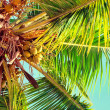 Stock Photo: Coconuts on the palm tree