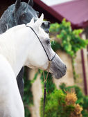Portrait of white arabian stallion with statue — Stock Photo
