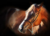 Portrait of gilden arabian filly at black background — Stock Photo