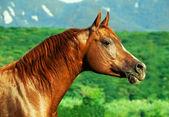 Portrait of beautiful  sorrel  arabian horse at freedom — Stock Photo