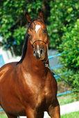 Portrait of beautiful bay young  arabian stallion — Stock Photo