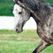 Portrait of gray racing arabian horse in movement — Stock Photo #42711549