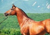 Portrait of beautiful arabian stallion — Zdjęcie stockowe