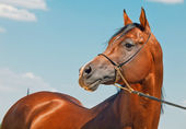 Portrait of wonderful bay  arabian colt — Stock Photo