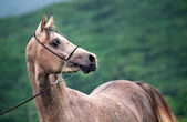 Portrait of beautiful  young gray arabian stallion  — Stock Photo