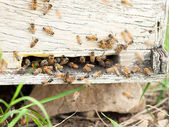 Bees at  hive entrance. — Stock Photo