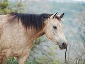Portait of buckskin  horse at freedom — Foto Stock