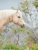 Portrait of palomino stallion of quarterhorse breed  — Stockfoto